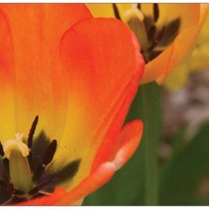 Orange Tulip - Card